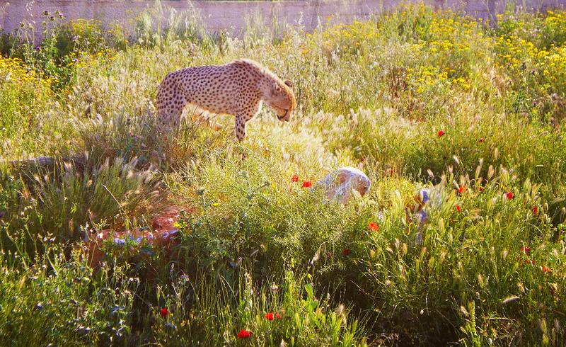 Τσιτάχ στο φυσικό περιβάλλον στοκ εικόνα με δικαίωμα ελεύθερης χρήσης