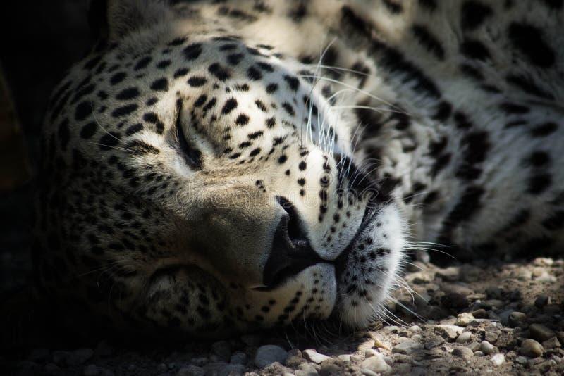 τσιτάχ ύπνου στοκ εικόνα