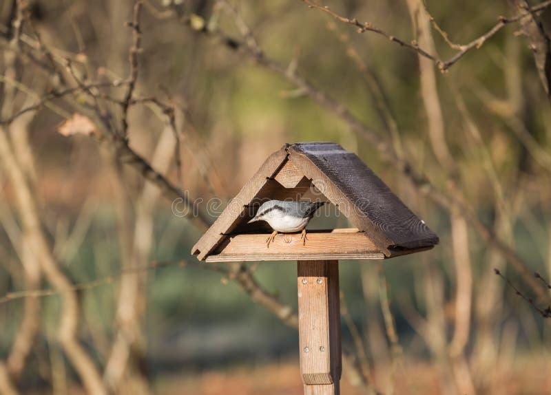 Τσοπανάκος στον τροφοδότη πουλιών στοκ φωτογραφία