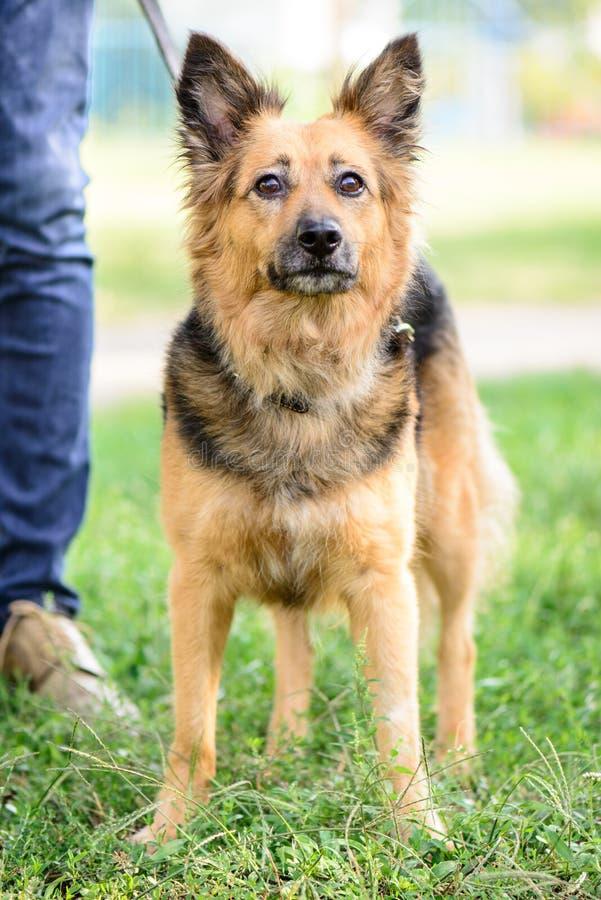 Τσοπανόσκυλο διασταύρωσης σκυλιών της Pet υπαίθριο στοκ εικόνες με δικαίωμα ελεύθερης χρήσης