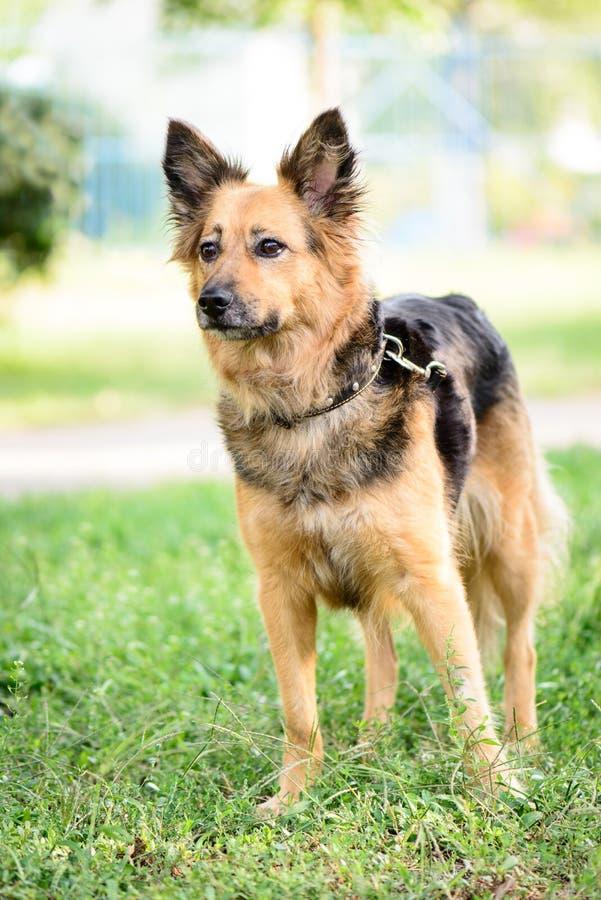 Τσοπανόσκυλο διασταύρωσης σκυλιών της Pet υπαίθριο στοκ φωτογραφία με δικαίωμα ελεύθερης χρήσης