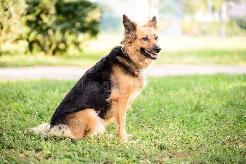 Τσοπανόσκυλο διασταύρωσης σκυλιών της Pet υπαίθριο στοκ φωτογραφίες