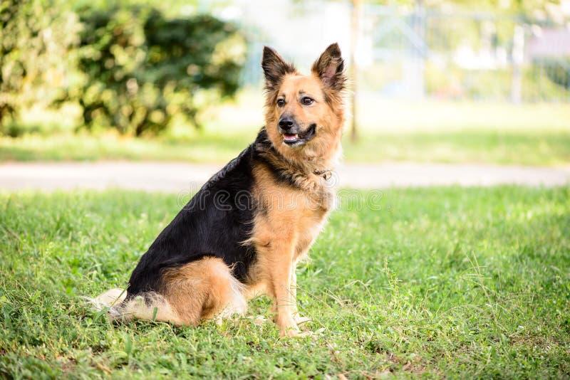 Τσοπανόσκυλο διασταύρωσης σκυλιών της Pet υπαίθριο στοκ φωτογραφίες με δικαίωμα ελεύθερης χρήσης