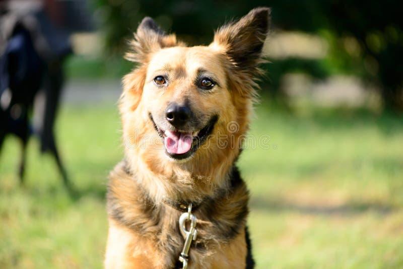 Τσοπανόσκυλο διασταύρωσης σκυλιών της Pet υπαίθριο στοκ εικόνες