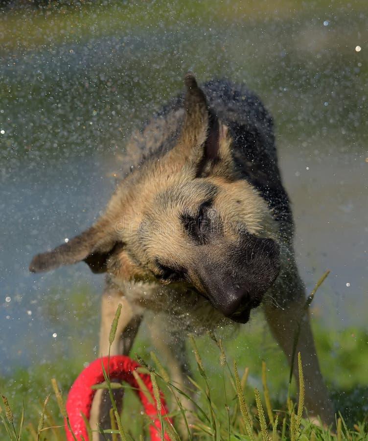 Τσοπανόσκυλο στο υπόβαθρο των κουνημάτων λιμνών από το νερό στοκ εικόνες