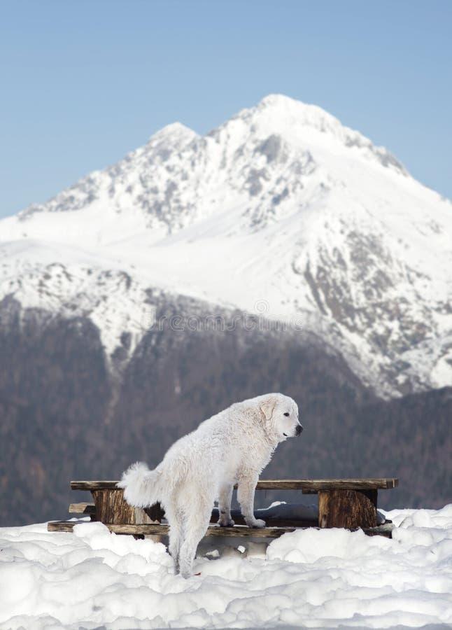 Τσοπανόσκυλο Maremma στο χιόνι στοκ φωτογραφία με δικαίωμα ελεύθερης χρήσης