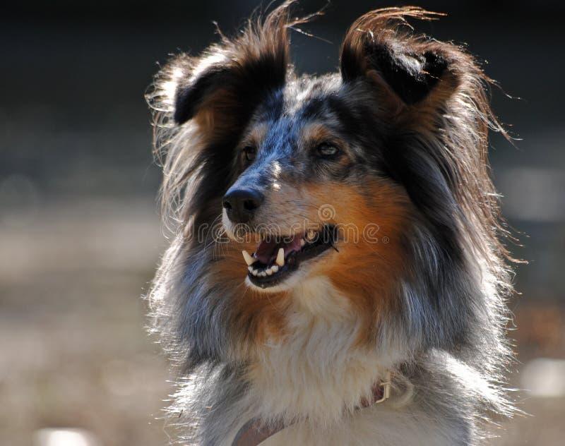 τσοπανόσκυλο sheltie Shetland πορτρέτ στοκ φωτογραφία με δικαίωμα ελεύθερης χρήσης