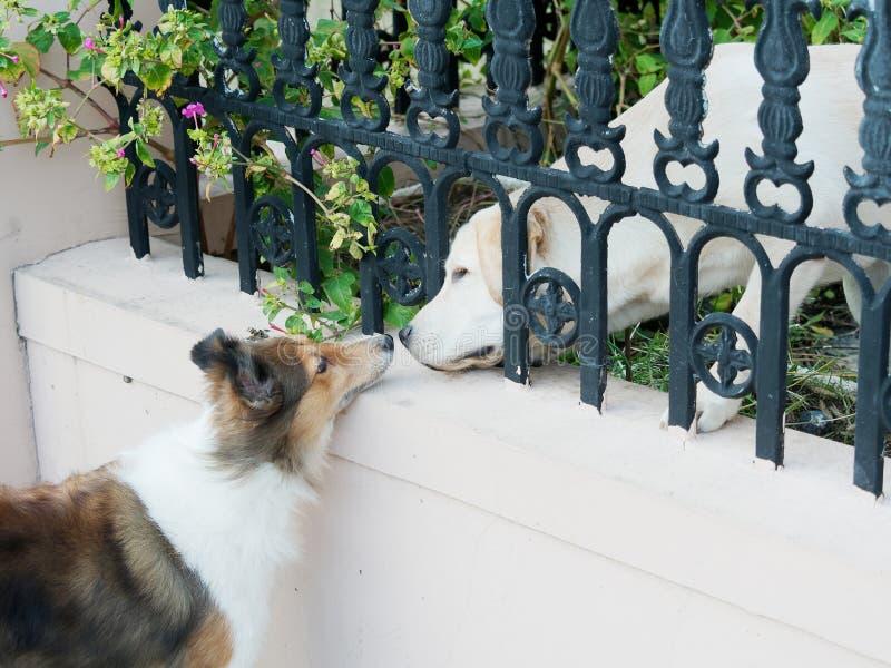 Τσοπανόσκυλο Shetland και σκυλί του Λαμπραντόρ που λένε γειά σου και μύτες ρουθουνίσματος το ένα το άλλο στοκ φωτογραφία με δικαίωμα ελεύθερης χρήσης