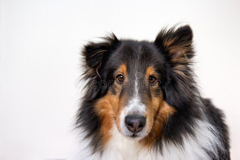Τσοπανόσκυλο Shetland στο πορτρέτο στούντιο στο άσπρο υπόβαθρο στοκ φωτογραφίες