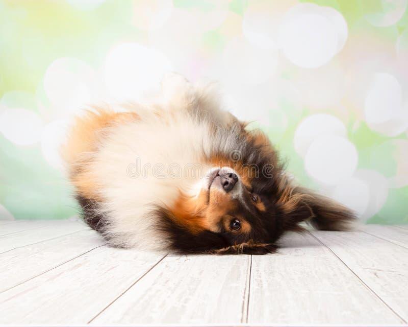 Τσοπανόσκυλο Shetland στο πορτρέτο στούντιο στοκ εικόνα με δικαίωμα ελεύθερης χρήσης