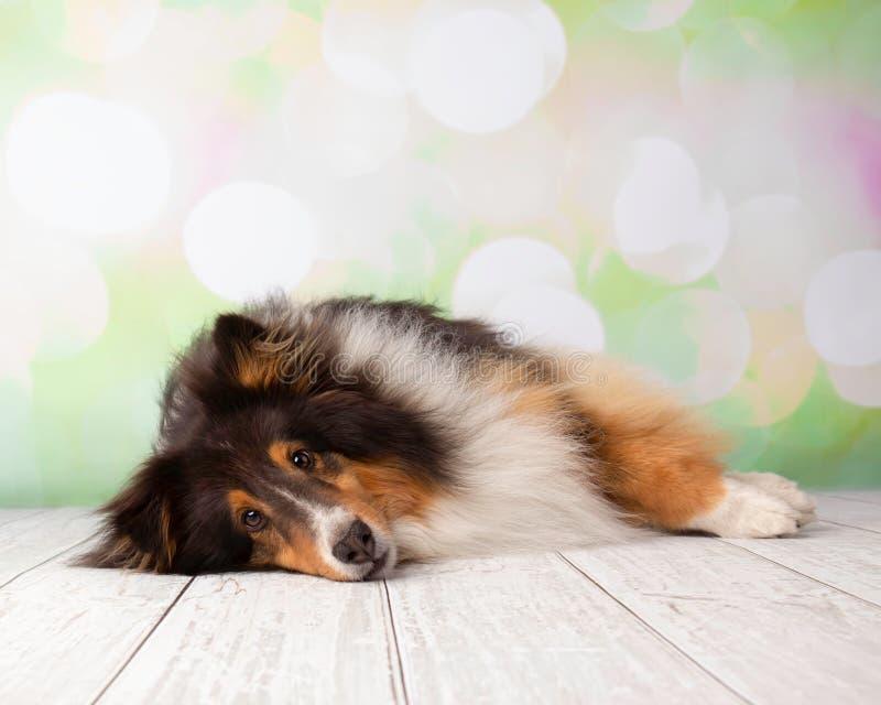 Τσοπανόσκυλο Shetland στο πορτρέτο στούντιο στοκ εικόνες