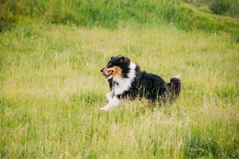 Τσοπανόσκυλο Shetland, Sheltie, κόλλεϊ Παιχνίδι που οργανώνεται υπαίθριο στη θερινή χλόη στοκ φωτογραφίες με δικαίωμα ελεύθερης χρήσης