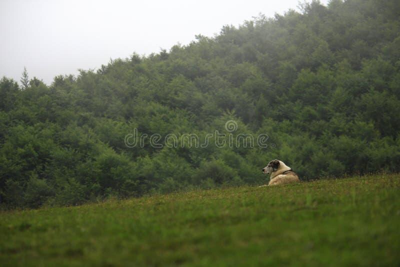 Τσοπανόσκυλο στο Χάιλαντς στοκ φωτογραφίες
