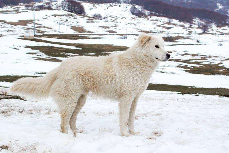 Τσοπανόσκυλο Maremma στο χιόνι στοκ φωτογραφίες με δικαίωμα ελεύθερης χρήσης