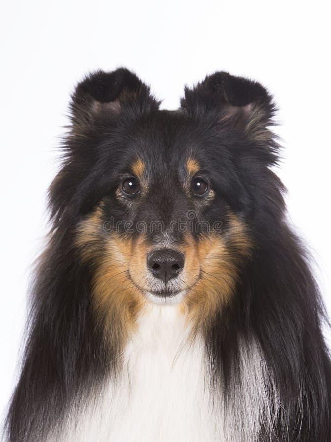 τσοπανόσκυλο Shetland 2 κινηματογραφήσεων σε πρώτο πλάνο στοκ εικόνες με δικαίωμα ελεύθερης χρήσης