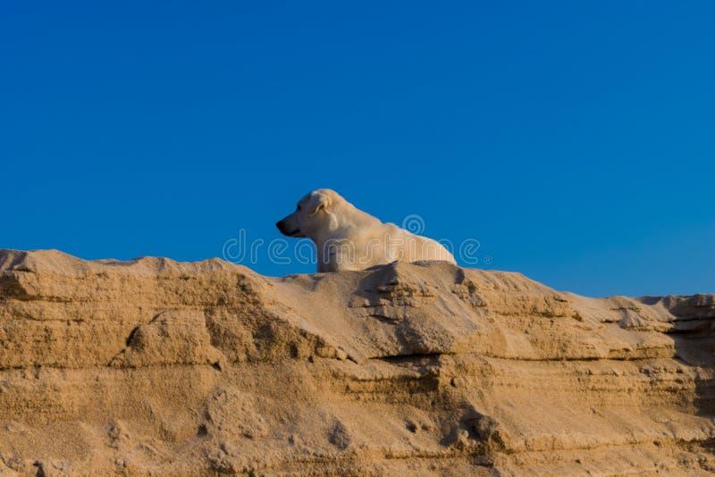 Τσοπανόσκυλο Shetland στην παραλία στοκ εικόνα