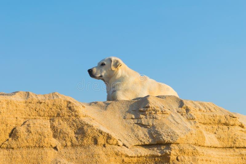 Τσοπανόσκυλο Shetland στην παραλία στοκ φωτογραφία