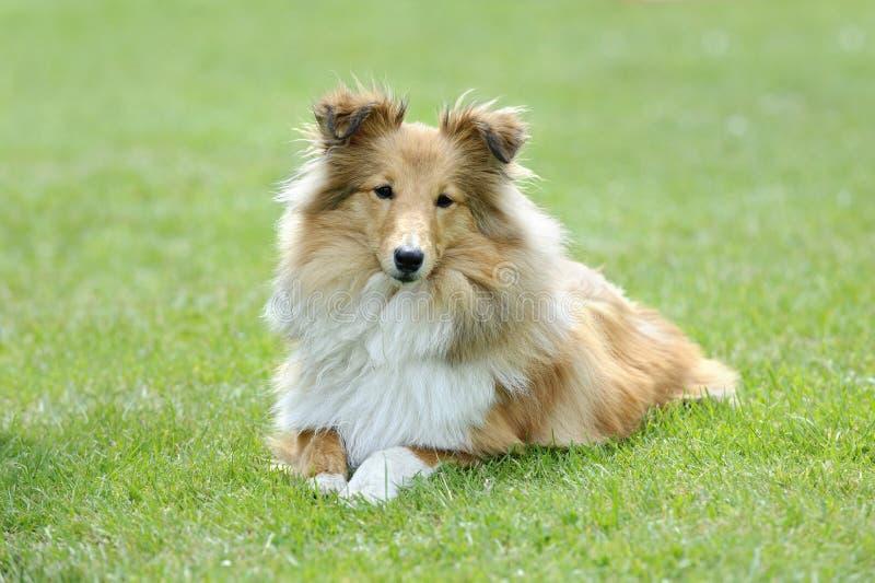 Τσοπανόσκυλο Shetland στοκ φωτογραφία