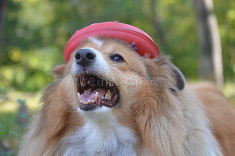 Τσοπανόσκυλο Shetland, Sheltie, σκυλί στοκ εικόνα