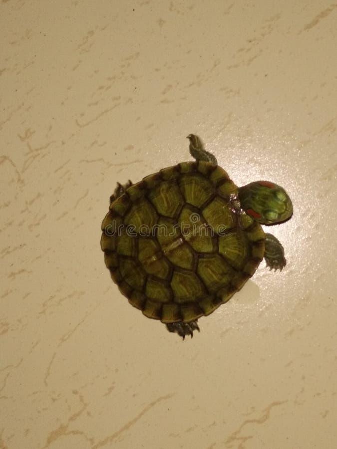 Τυχερά tortoises στοκ εικόνες με δικαίωμα ελεύθερης χρήσης