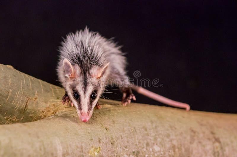 Των Άνδεων άσπρος έχων νώτα opossum σε ένα zarigueya κλάδων στοκ φωτογραφίες με δικαίωμα ελεύθερης χρήσης