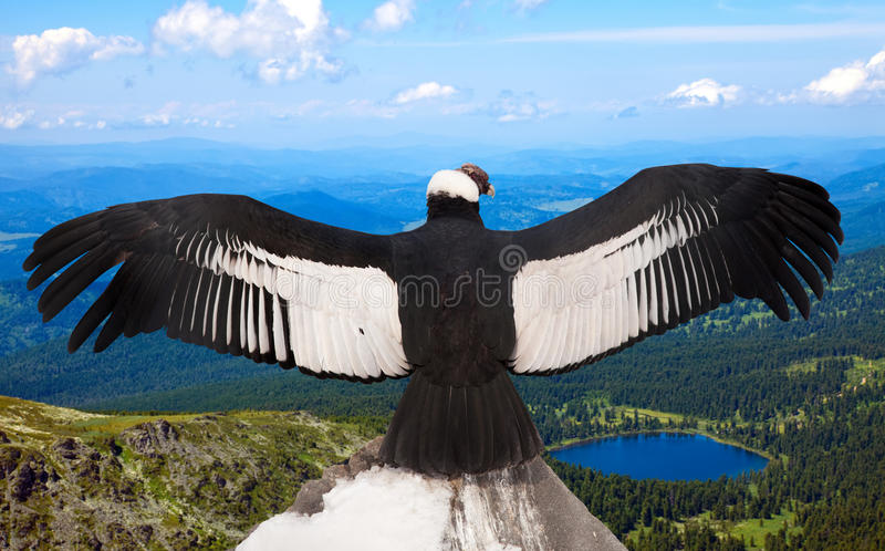 των Άνδεων λατινικό όνομα gryphus κονδόρων vultur στοκ εικόνα