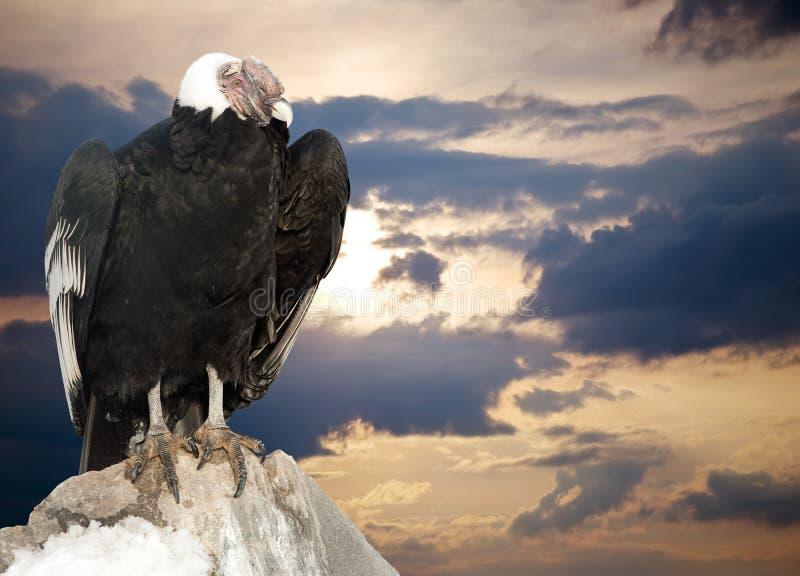 των Άνδεων λατινικό όνομα gryphus κονδόρων vultur στοκ εικόνες με δικαίωμα ελεύθερης χρήσης
