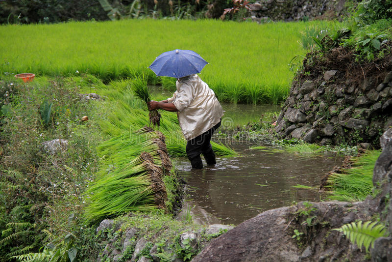 Των Φηληππίνων εργαζόμενος στον τομέα ρυζιού banaue στοκ εικόνα