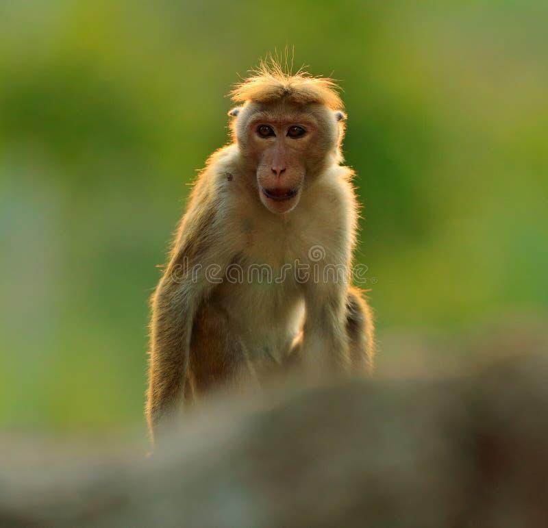 Τόκα macaque, sinica Macaca, πίθηκος με τον ήλιο βραδιού Macaque στο βιότοπο φύσης, Σρι Λάνκα Λεπτομέρεια του πιθήκου, σκηνή Widl στοκ εικόνα με δικαίωμα ελεύθερης χρήσης
