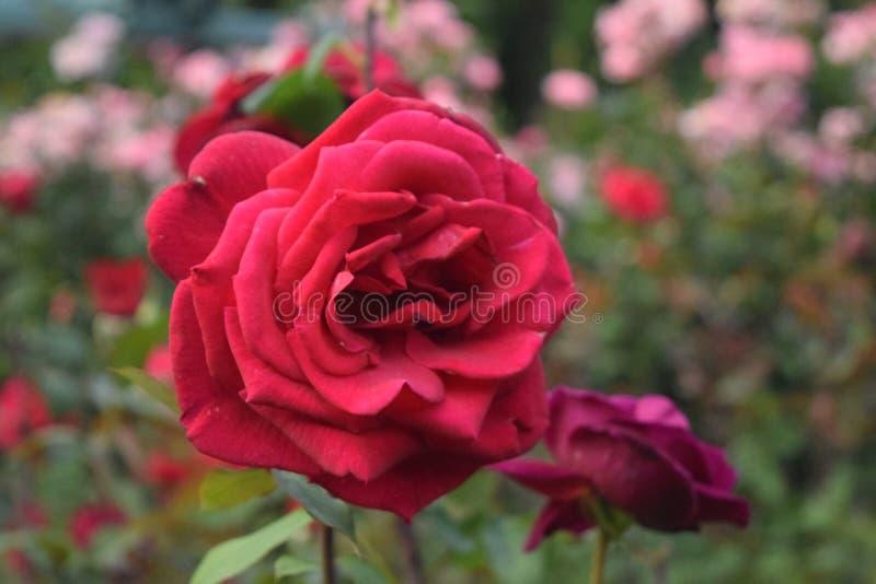 Τόσο ρομαντικός κόκκινος αυξήθηκε στον κήπο στοκ φωτογραφία με δικαίωμα ελεύθερης χρήσης
