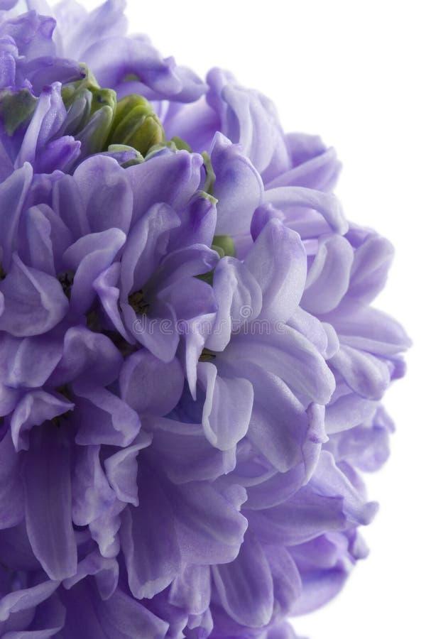 υάκινθος λουλουδιών που απομονώνεται στοκ φωτογραφία
