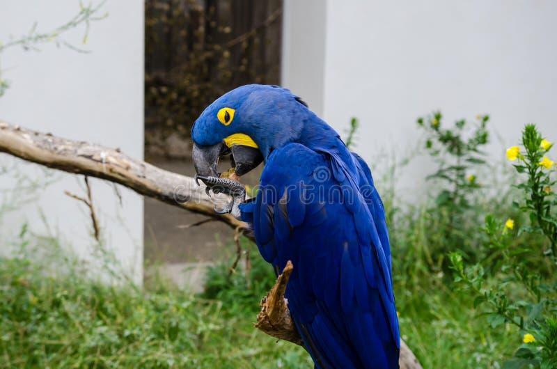 Υάκινθος macaw που καθαρίζει το ράμφος του στοκ φωτογραφίες