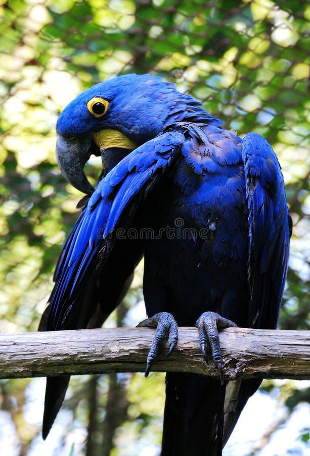 Υάκινθος Macaw στοκ φωτογραφίες
