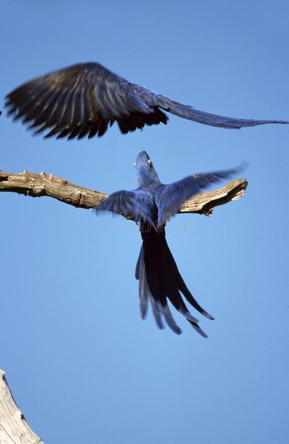 Υάκινθος Macaw, Hyacinthara, hyacinthinus Anodorhynchus στοκ φωτογραφίες
