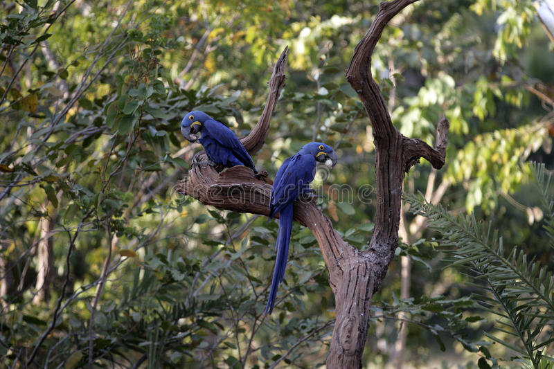 Υάκινθος macaw, hyacinthinus Anodorhynchus, στοκ εικόνα με δικαίωμα ελεύθερης χρήσης