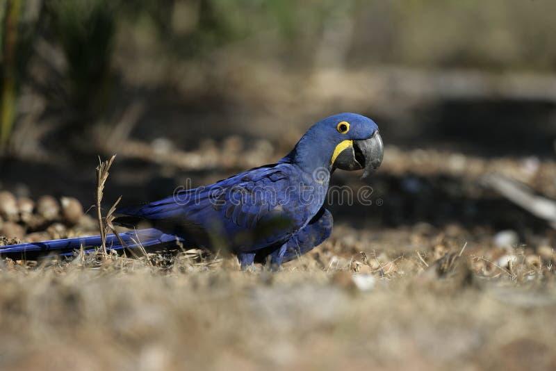 Υάκινθος macaw, hyacinthinus Anodorhynchus, στοκ εικόνες με δικαίωμα ελεύθερης χρήσης