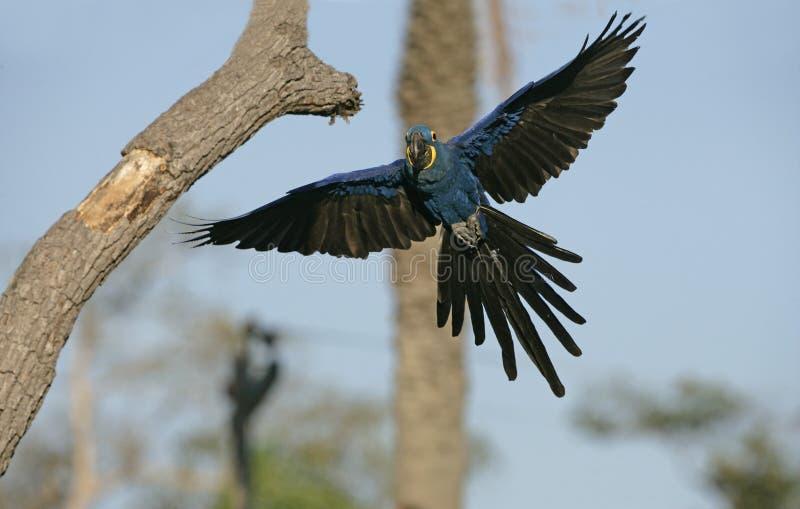 Υάκινθος macaw, hyacinthinus Anodorhynchus στοκ εικόνες