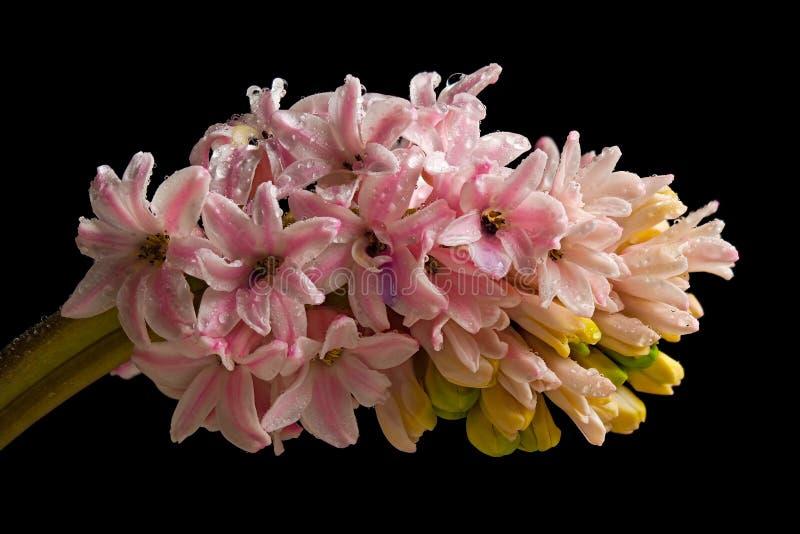 Υάκινθων λουλούδι που απομονώνεται ρόδινο στοκ φωτογραφία