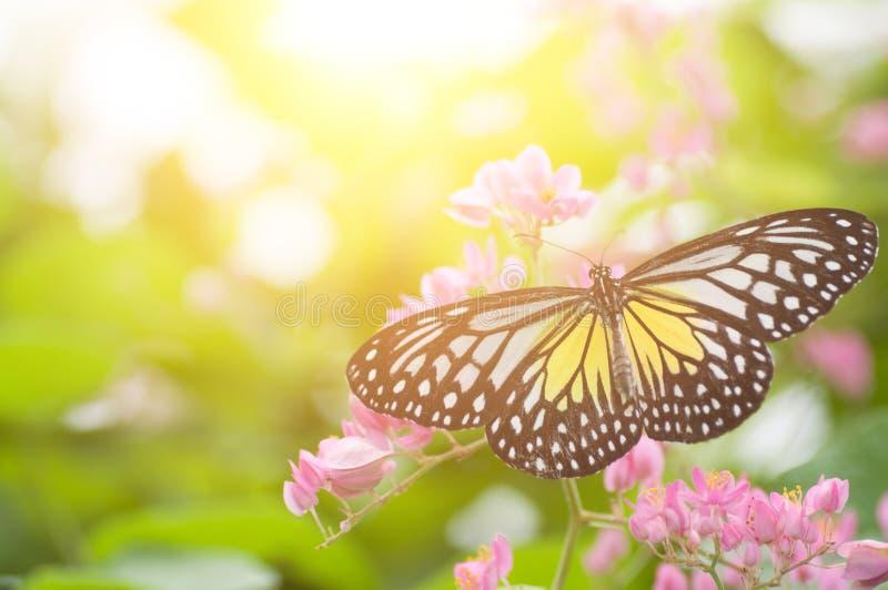 υαλώδης τίγρη πεταλούδων κίτρινη στοκ φωτογραφία με δικαίωμα ελεύθερης χρήσης