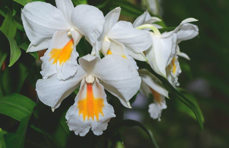 Υβριδικές άσπρες και κίτρινες ορχιδέες λουλουδιών Cattleya στοκ φωτογραφία