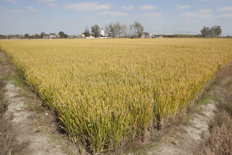 Υβριδικό ρύζι στην Κίνα στοκ εικόνα με δικαίωμα ελεύθερης χρήσης