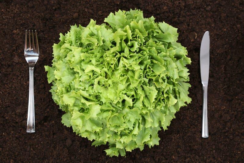 Υγιές μαρούλι κατανάλωσης στο φυτικό κήπο στοκ εικόνες με δικαίωμα ελεύθερης χρήσης