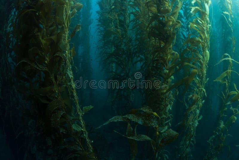 Υγιές Kelp δάσος στοκ φωτογραφίες