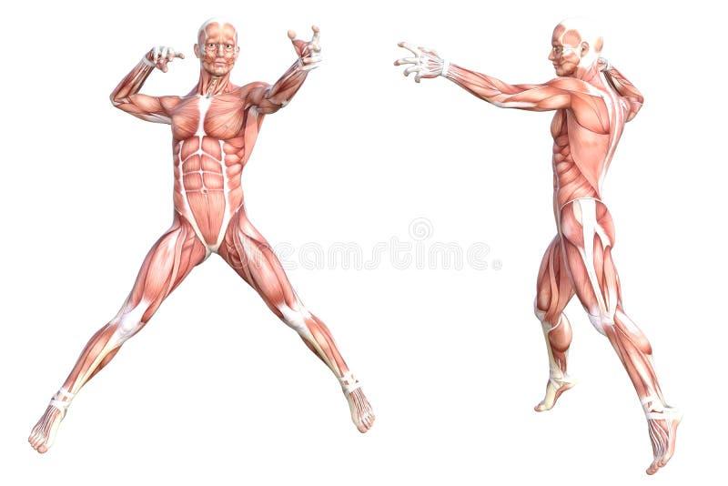 Υγιές skinless σύνολο συστημάτων μυών ανθρώπινων σωμάτων απεικόνιση αποθεμάτων