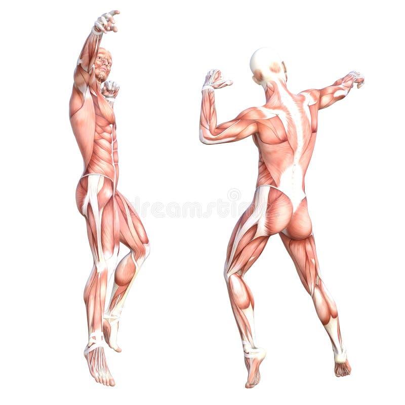 Υγιές skinless σύνολο συστημάτων μυών ανθρώπινων σωμάτων ελεύθερη απεικόνιση δικαιώματος