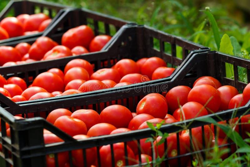 Υγιείς ντομάτες στοκ φωτογραφία με δικαίωμα ελεύθερης χρήσης