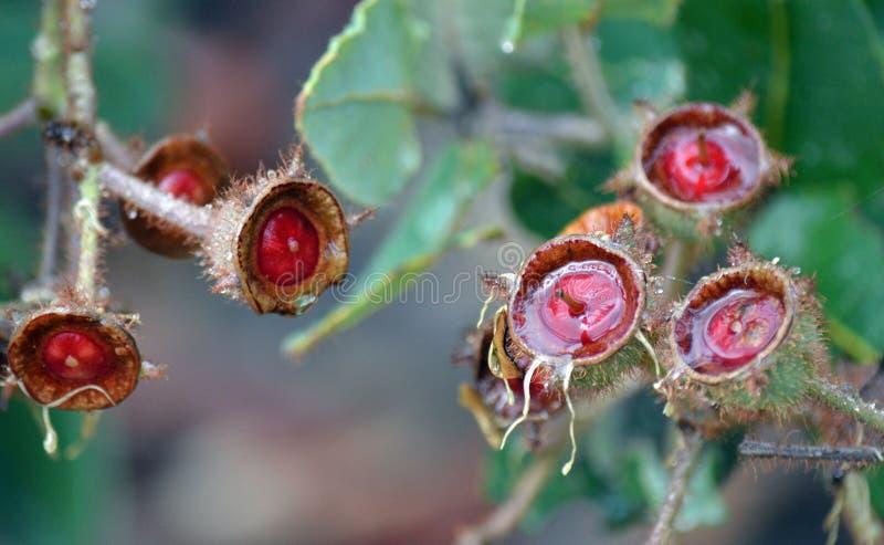 Υγρά, κόκκινα καρύδια δέντρων γόμμας του hispida Angophora στοκ εικόνα με δικαίωμα ελεύθερης χρήσης