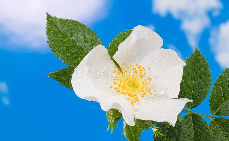 Υγρός άγριος αυξήθηκε λεπτομέρεια λουλουδιών canina Rosa Εύθραυστος δροσοσκέπαστος πιό brier στοκ φωτογραφίες
