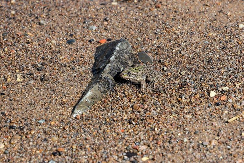 Υγρός βάτραχος στις αμμώδεις όχθεις του ποταμού r στοκ εικόνες με δικαίωμα ελεύθερης χρήσης
