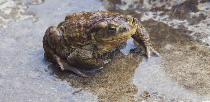 Υγρός βάτραχος στο νερό στοκ φωτογραφίες με δικαίωμα ελεύθερης χρήσης